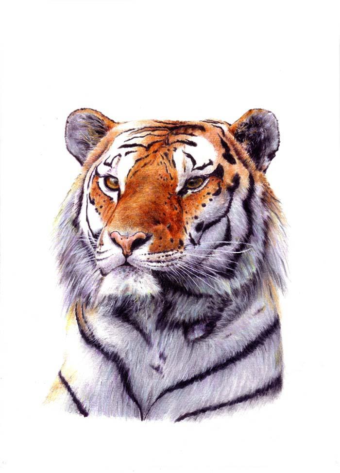 Tiger siberiano1