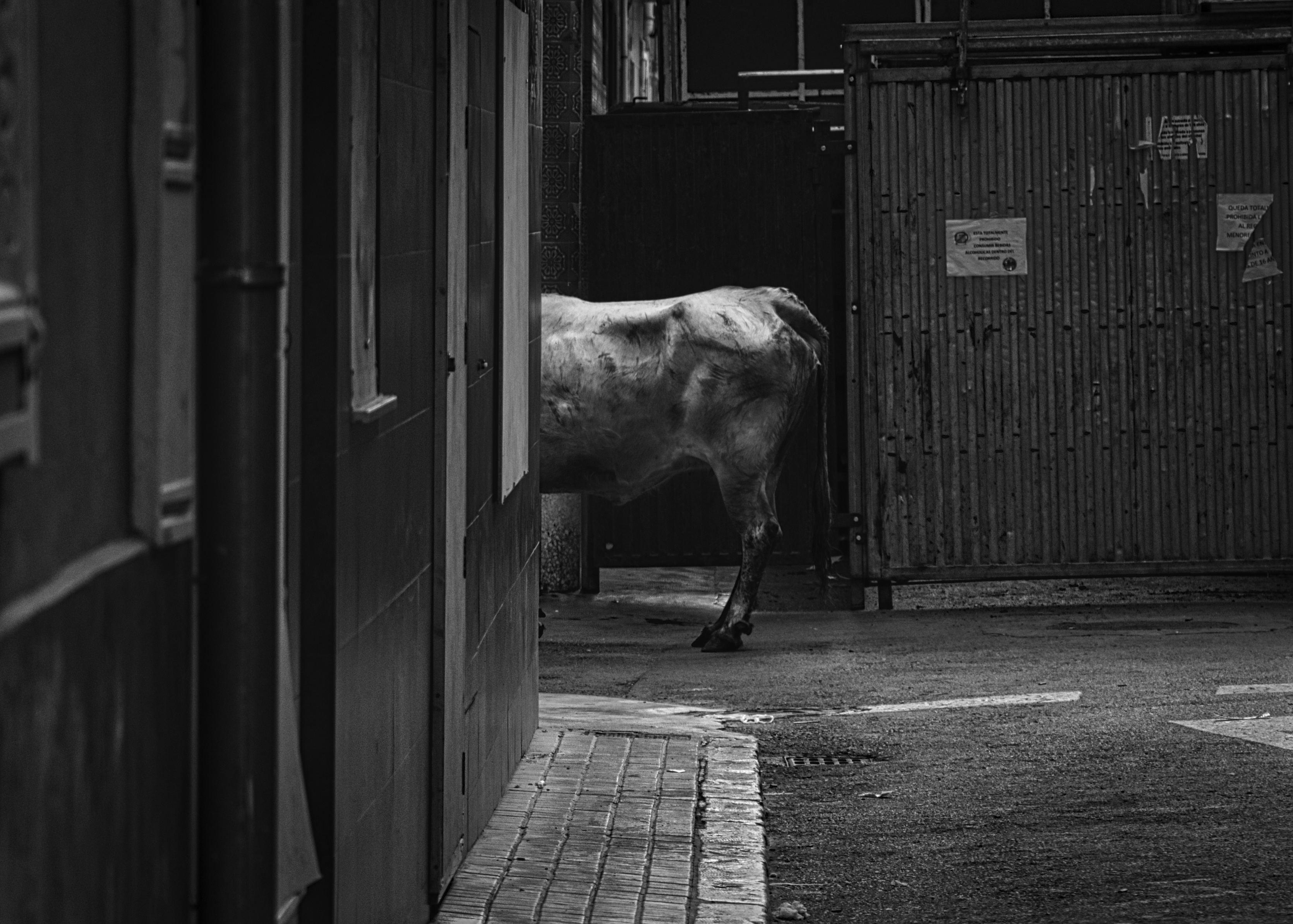 Waiting for the Bull
