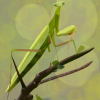 mantis funda movil.png