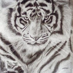 Realistic Tiger Drawing