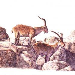 cabras1