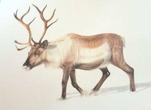 Reno - Reindeer