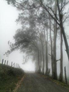 Eucaliptos en niebla