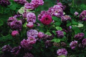 Rosa entre rosas