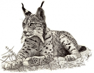 IBERIAN LYNX subadult LYING AND OTHERS