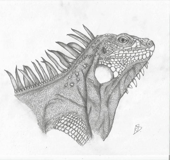 Iguana Pencil Drawings Buy Original Art